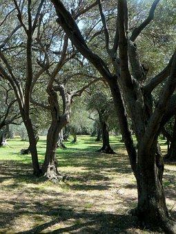 Olive Tree, Park, Adriatic Coast, Tree, Organic