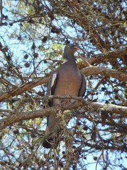 Dove, Bird, Tree, Animal, Sit, Fauna, Pine