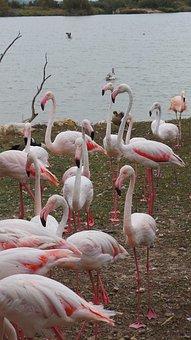 Pink Flamingo, African Reserve, Sigean, Zoo, Birds