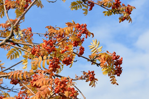 Rowan, Rowan Berries, Autumn, Clusters, Bright, Fruit