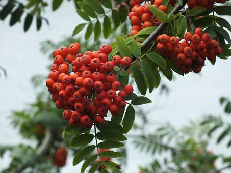 Rowan, Berry, Clusters Of Rowan, Autumn, September