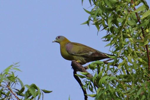 Yellow-footed Green Pigeon, Treron Phoenicoptera
