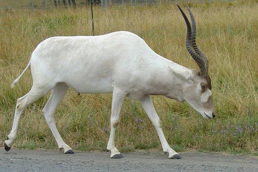 Addax, Antelope, White, Antlers, Wildlife Safari