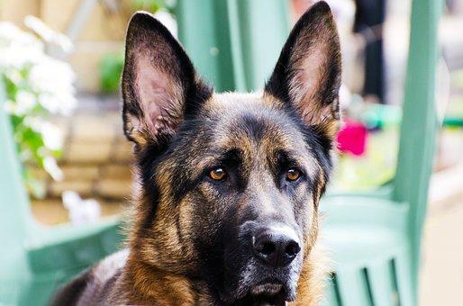 Dog, Face, Animal, German Alsatian, Close-up, Monitor