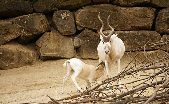 Addax, Antelope, Zoo