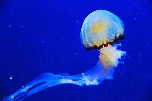 Jellyfish, Fish, Blue, Aquarium, Beautiful, Mesmerising