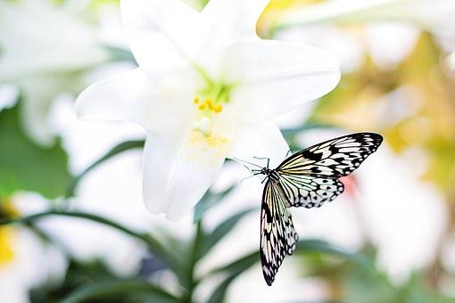 Butterfly, Easter Lily, Nature, Flower