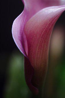 Calla Lilly, Flower, Blossom, Calla, Lilly, Growth