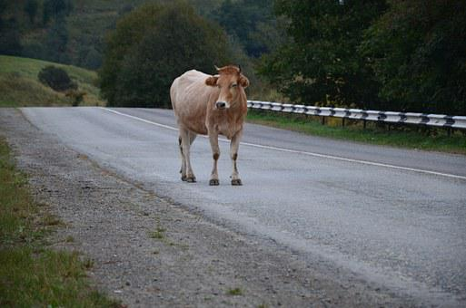 A Cow On The Road, Nature, Cow, Road, Animal