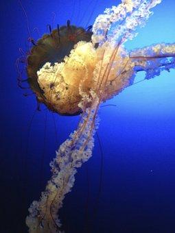 Jellyfish, Blue, Creature, Deep Sea Creature