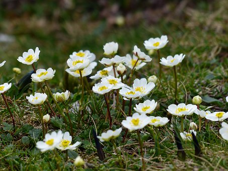 Dryas Octopetala, Flower, Blossom, Bloom, White, Dryas