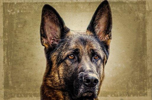 Dog, Face, Animal, German, Alsatian, Close-up, Monitor