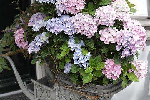 Hydrangea, Beautiful, Flower Wallpaper, Flower Gardens