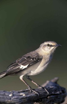 Polyglottos, Mimus, Head, Mockingbird, Northern, Birds