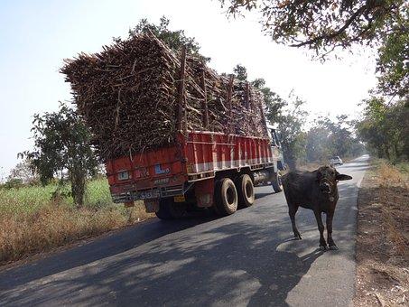 Truck, Overcharge, Cargo, Sugarcane, Cow, India