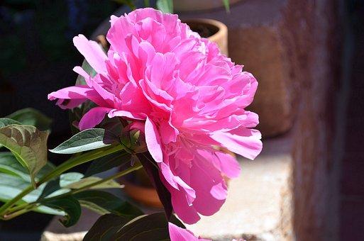 Peony, Pink, Flower, Paeonia, Blossom, Bloom