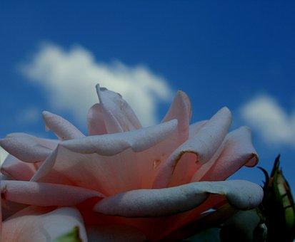 Rose, Flower, Bloom, Petals, Soft, Curved, Serene