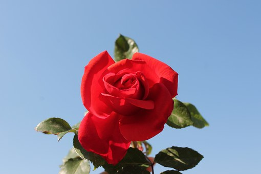 Red Rose, Blue, Red, Flower, Rosa, Garden, Beauty