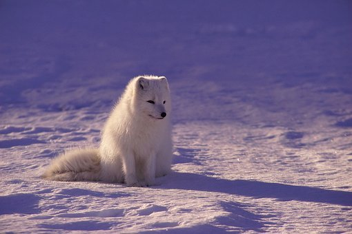 Arctic Wolf, Fur, Mammal, Outdoors, Shadow, Snow, White