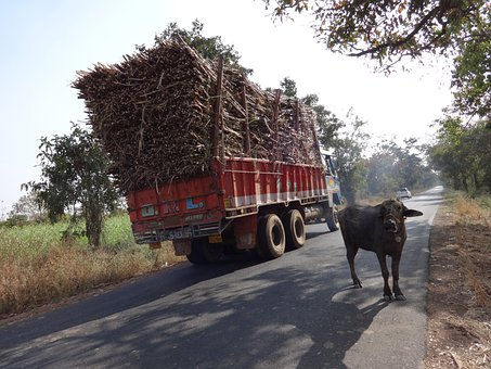 Truck, Overcharge, Cargo, Sugarcane, Cow, India