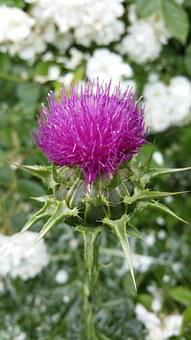 Nature, Thistle, Mary Thistle, Violet, Blossom, Bloom