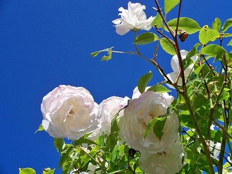 Iceberg Rose, Flowers, White Rose, Flower, Close