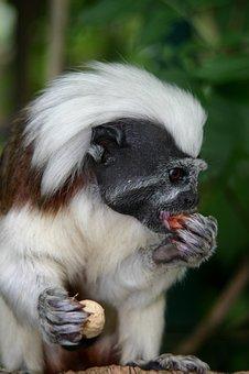Cottontop Tamarin, Monkey, Animal, Nature, Zoo
