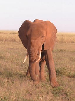Elephant, Kenya, Africa, Wildlife, Nature, African