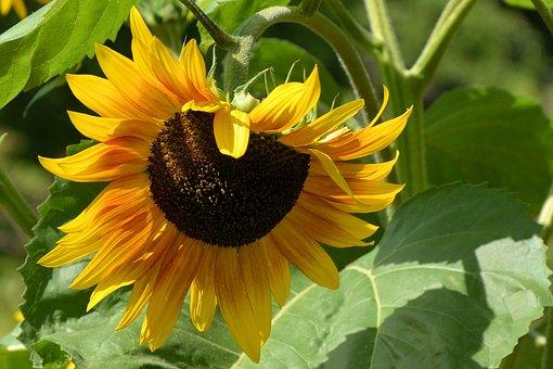 Sun Flower, Helianthos, Blossom, Bloom, Sunflower Seeds