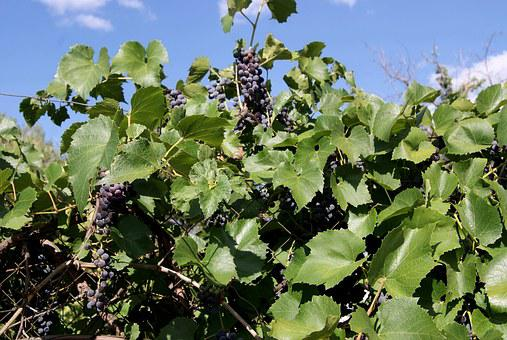 Grapes, Green, A Bunch Of, Summer, Bright, Beautiful