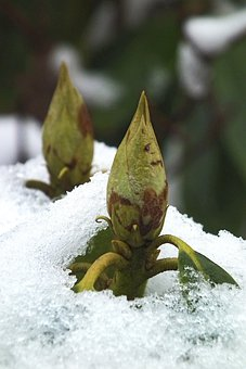 Rhododendron, Bud, Plant, Ice, Snow