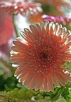 Gerbera, Flower, Plant, Flora, Nature, Cut Flower