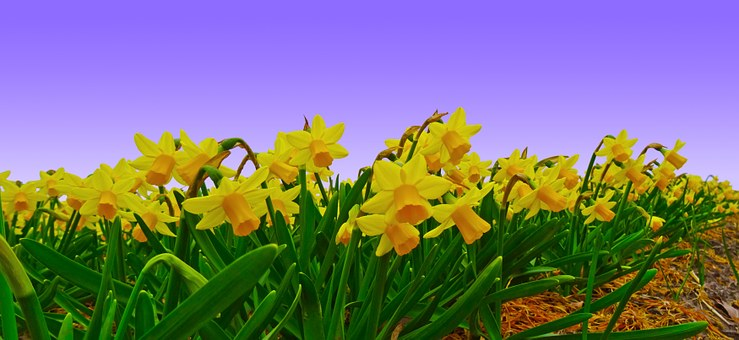 Narcissus, Field, Daffodil, Plantation, Cultivation