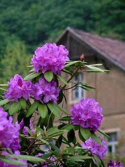 Spring, Rhododendron, Purple, Flower, Dresden