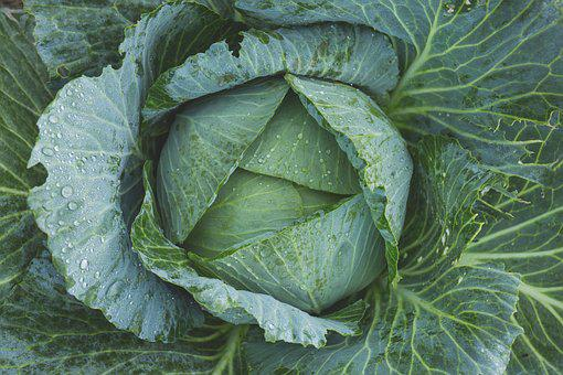 Cabbage, Vegetable, Kale, Green, Dew, Flora, Food