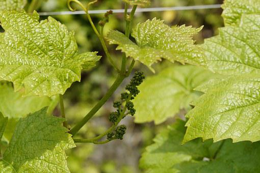Wine, Grapevine, Approach, Blossom, Bloom, Fruit Set