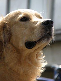 Dog, Head, Snout, Golden, Retriever, Muzzle