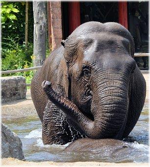 Elephant, Indian Elephant, Pool, Water, Bath, Bathing