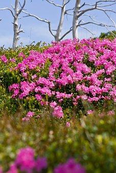 Purple, Flower, Hill Side, Mountain Peony