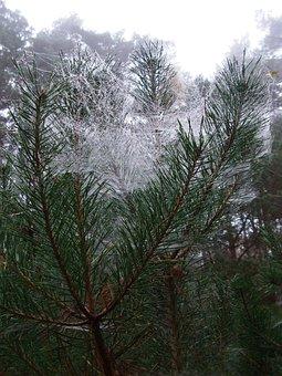 Pine, Spider Webs, Feenschleier, November