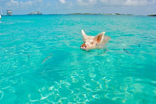 Staniel Cay, Swimming Pig, Exumas, Bahamas, Animal