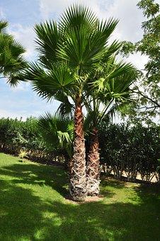 Palm, Tree, Plant, Palm Tree, Shade Tree, High, Tribe