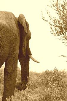 Elephant, Trunk, Animal, Wildlife, Wild, Zoology