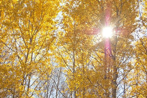 Yellow Trees, Autumn, The Sun Shines Through The Leaves