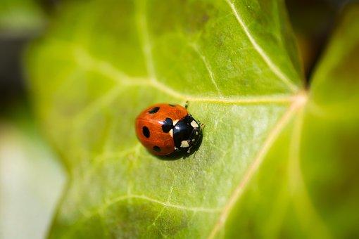 Beetle, Insect, Ladybird, Ladybug, Leaf, Nature, Tiny