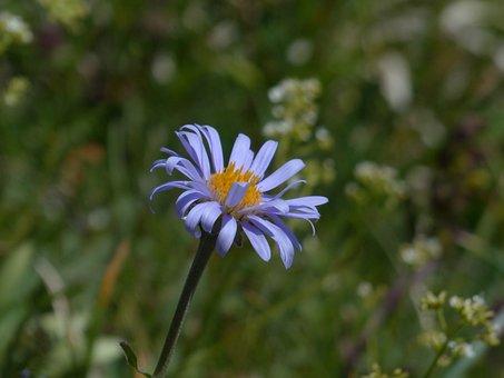 Flower, Blossom, Bloom, Purple, Violet, Alpine Aster