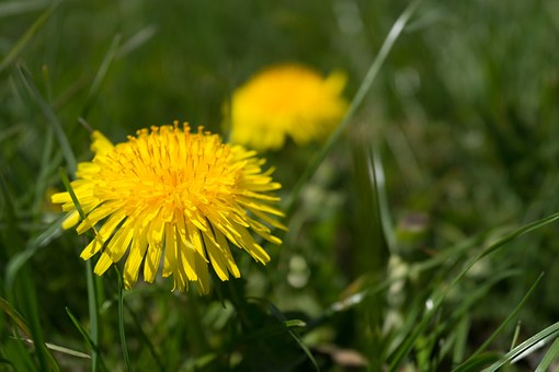 Dandelion, Yellow, Grass, Coltsfoot, Spring