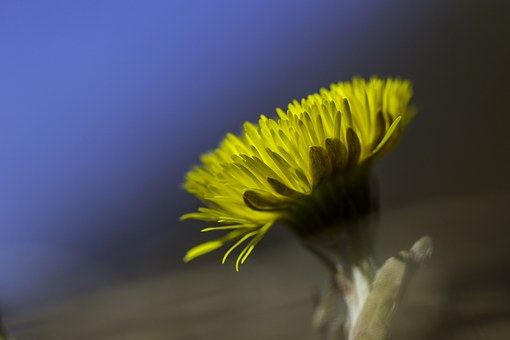 Coltsfoot, Flower, Yellow, Spring Plant, Sign Of Spring