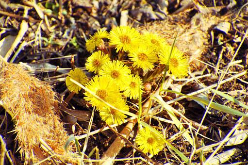 Flower, Yellow, Spring, Coltsfoot