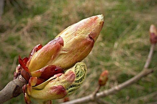 Chestnut, Bud, Spring, Tree, Macro, Horse-chestnut